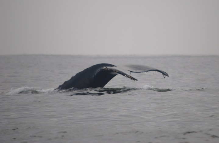 Humpback Whales in Monterey Bay, CA