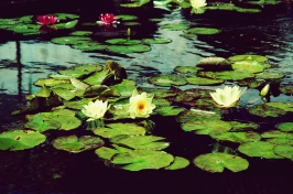water lilies - Copy